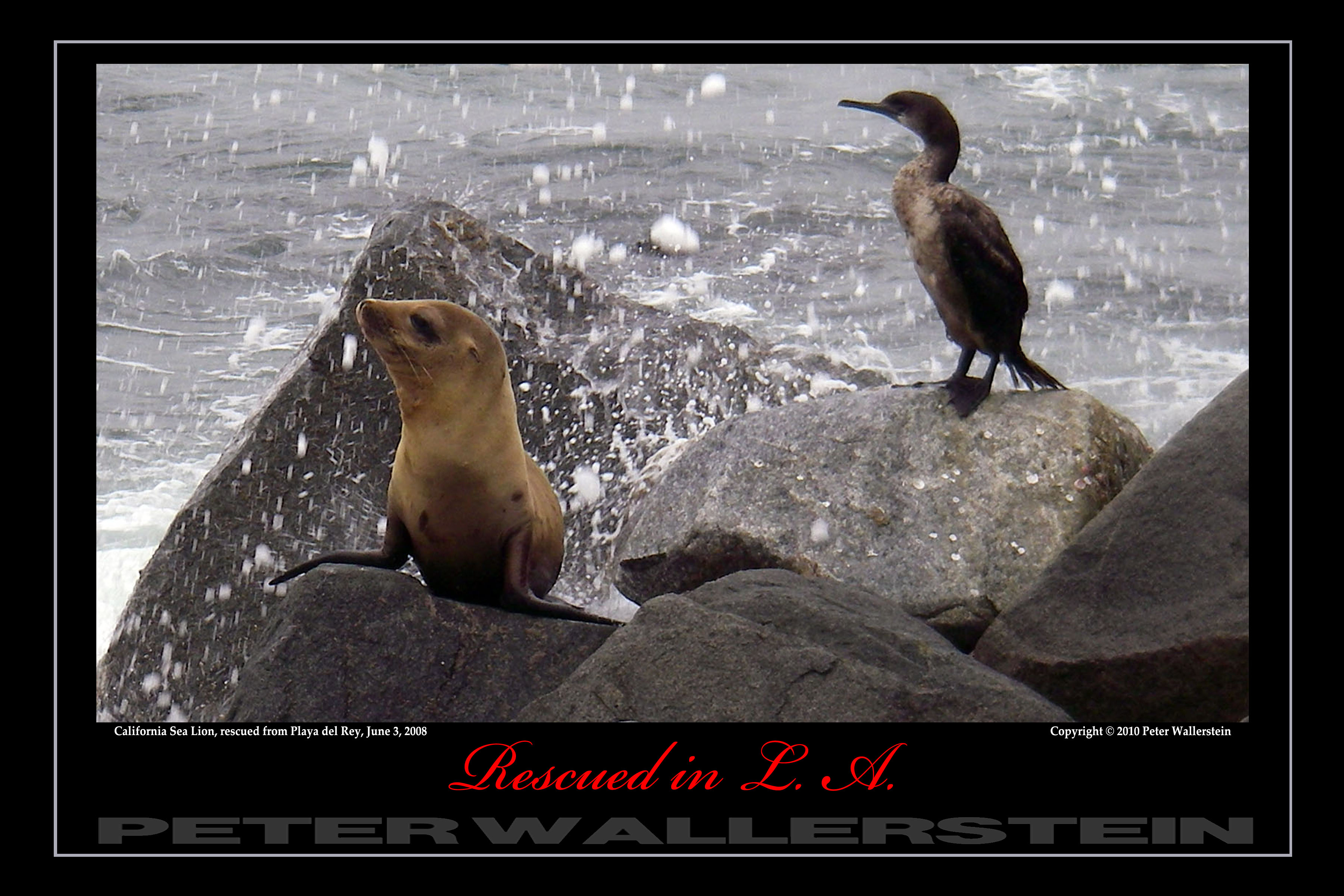 Cormorant and California Sea Lion