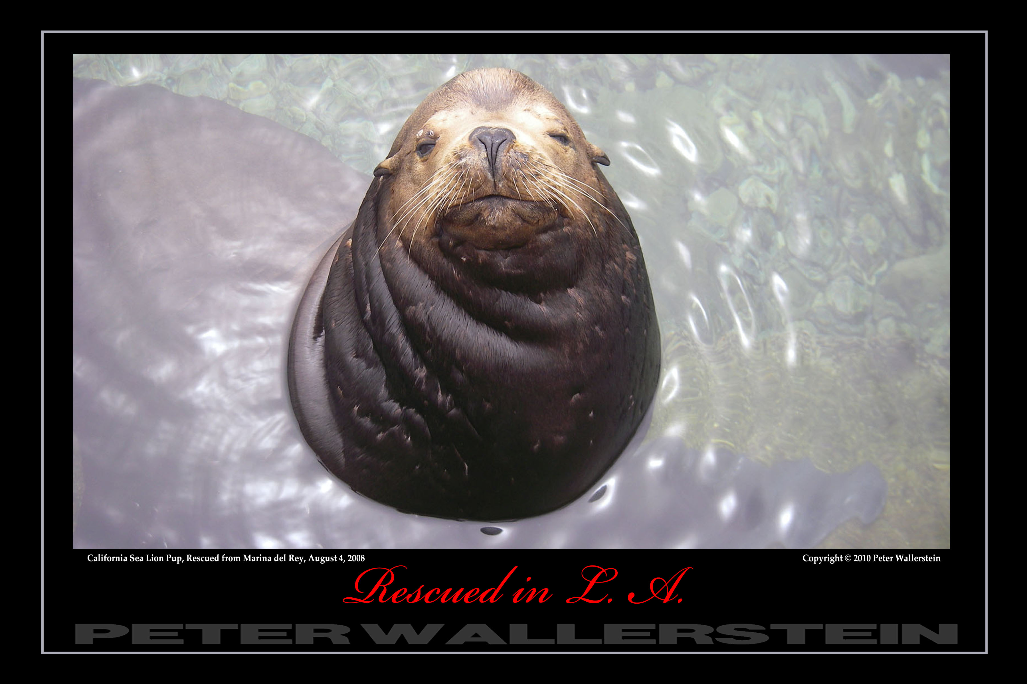 California Sea Lion Adult Male