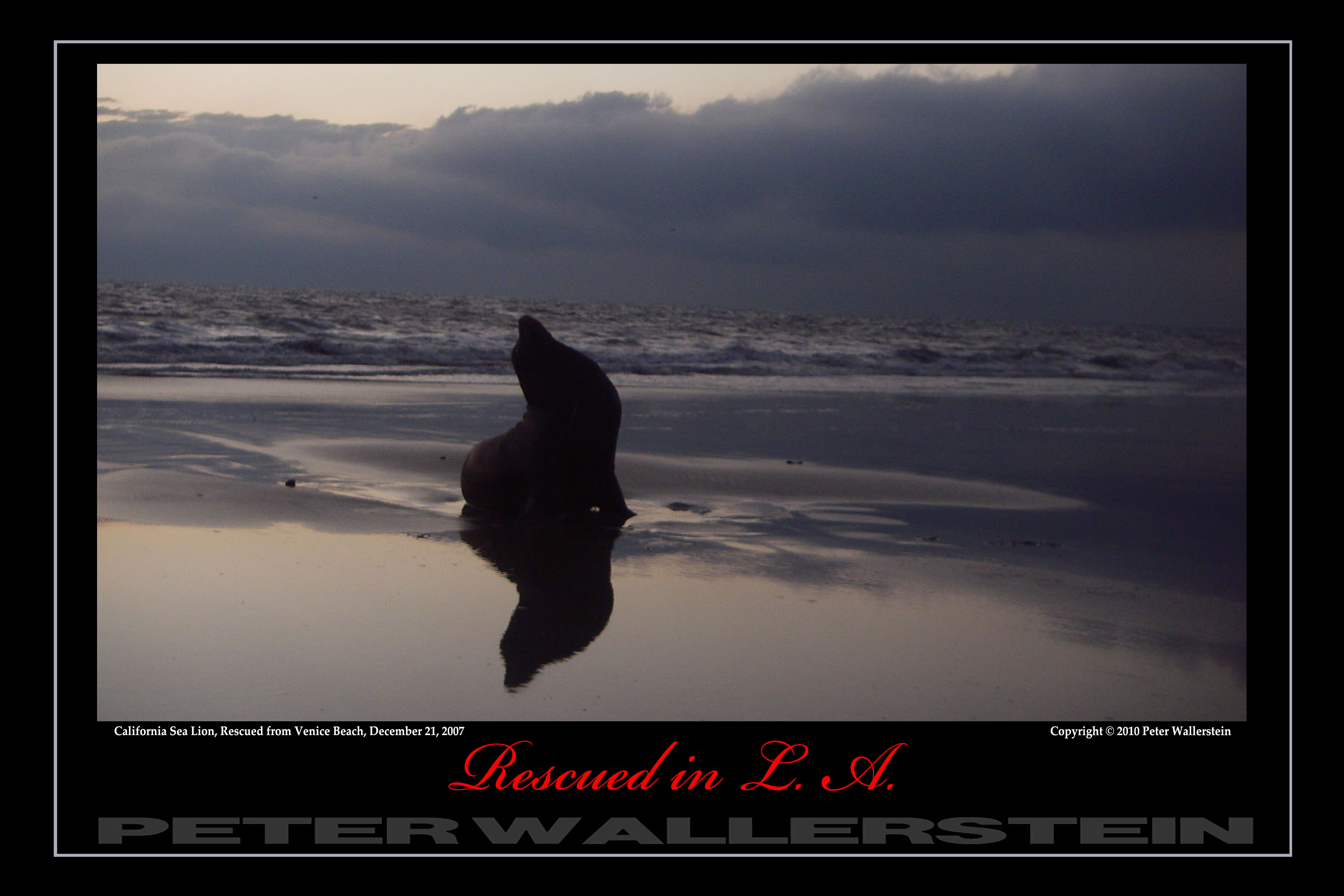 California Sea Lion Storm