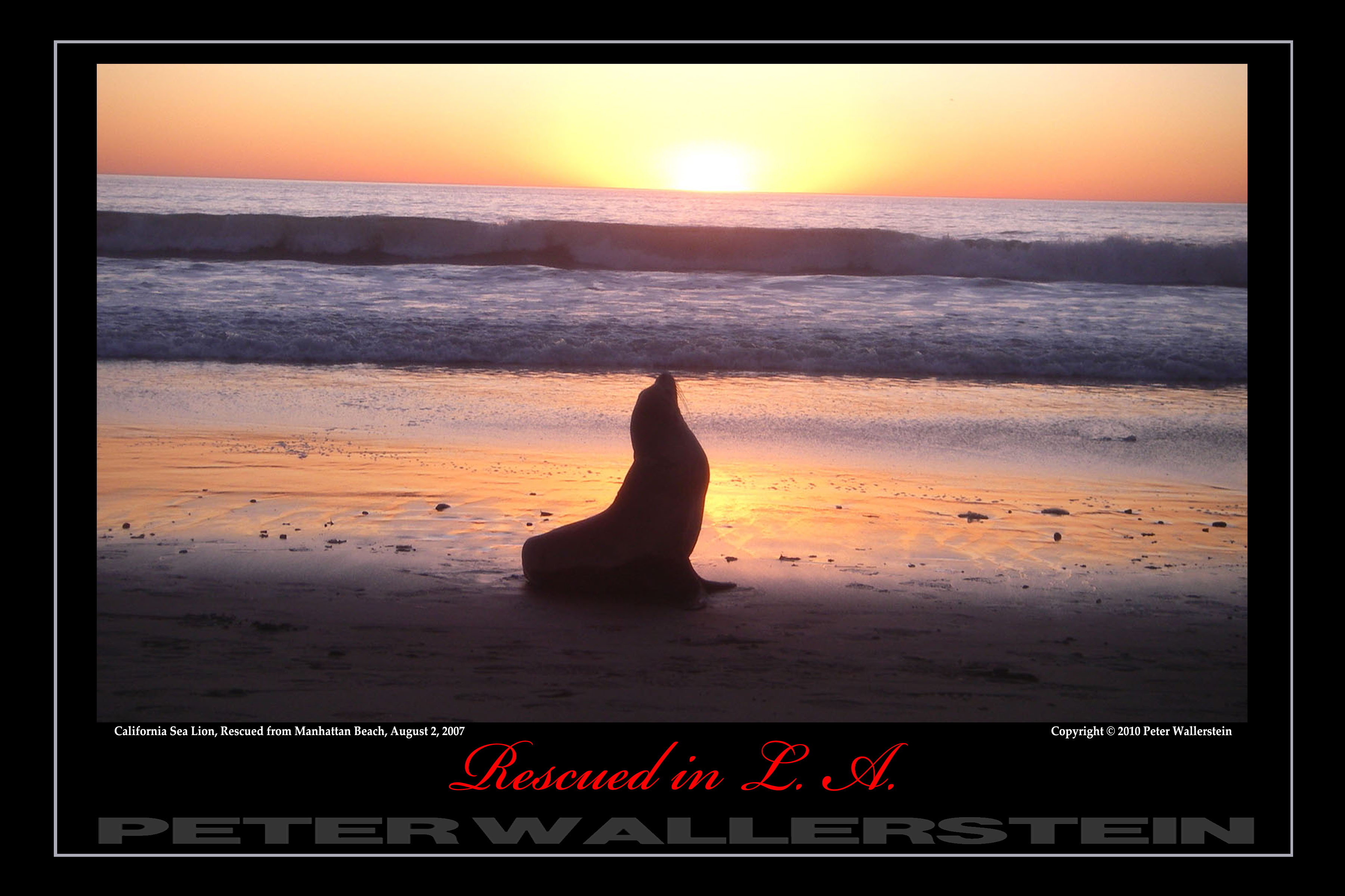 California Sea Lion Sunset