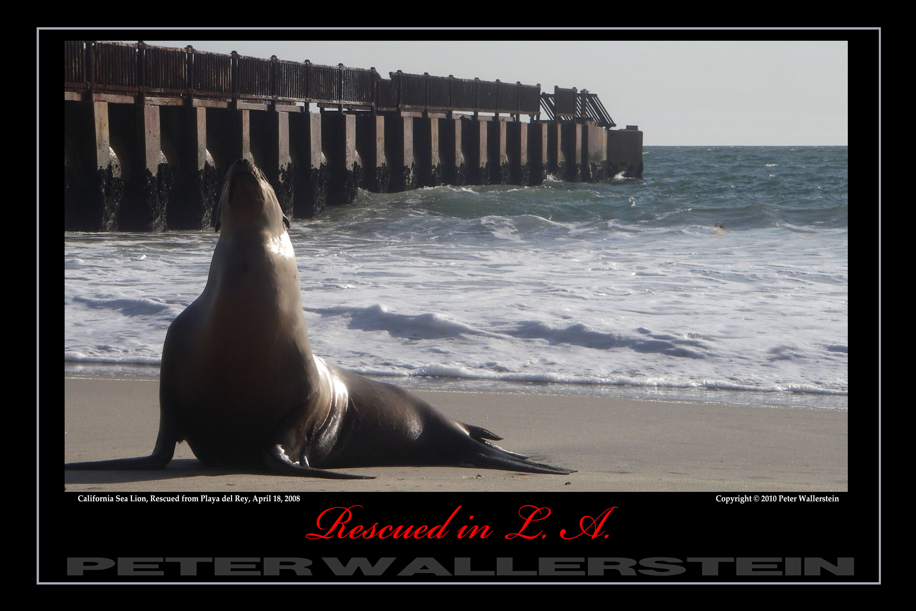 Sea Lion Playa del Rey