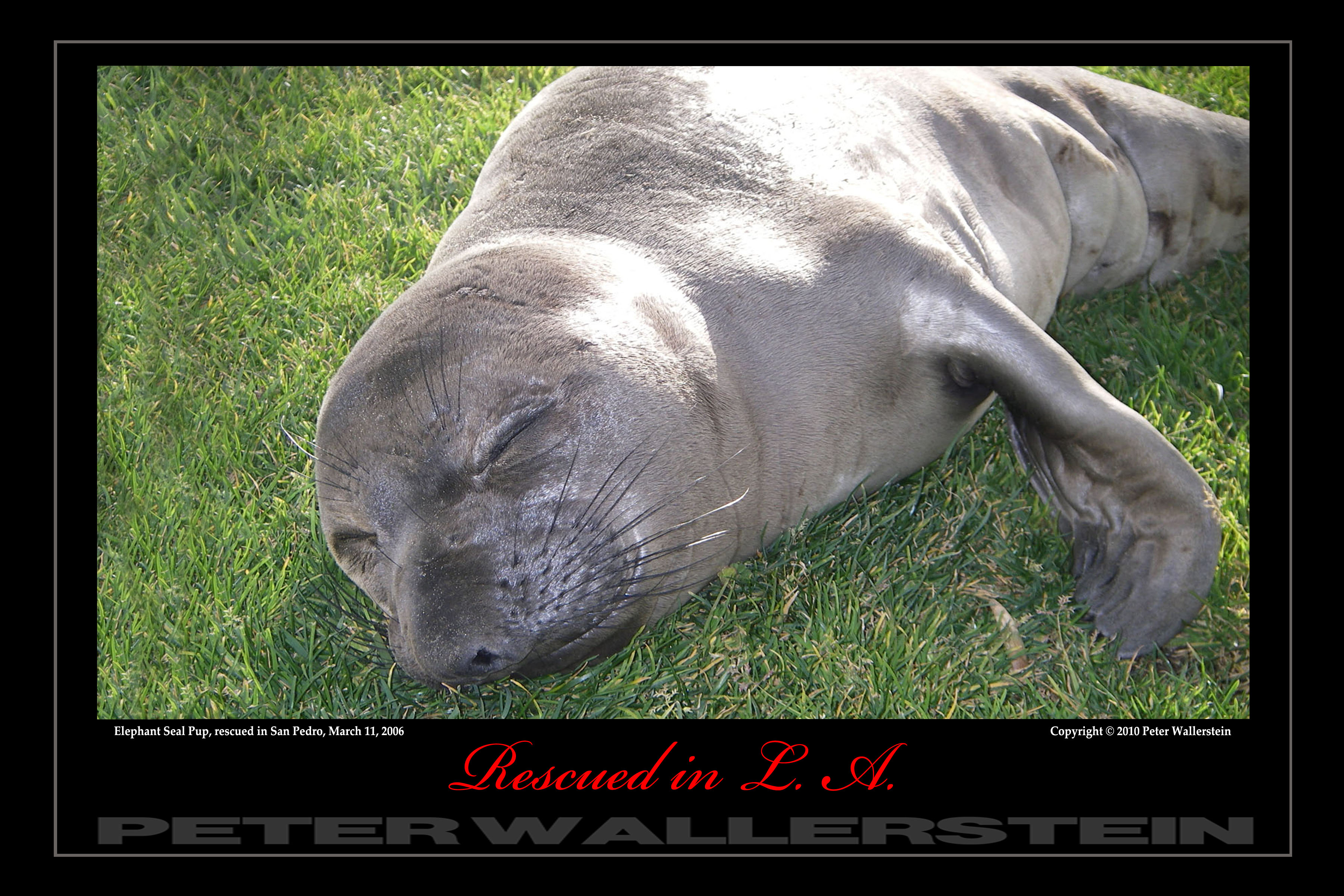 Elephant Seal Pup On Grass Lawn