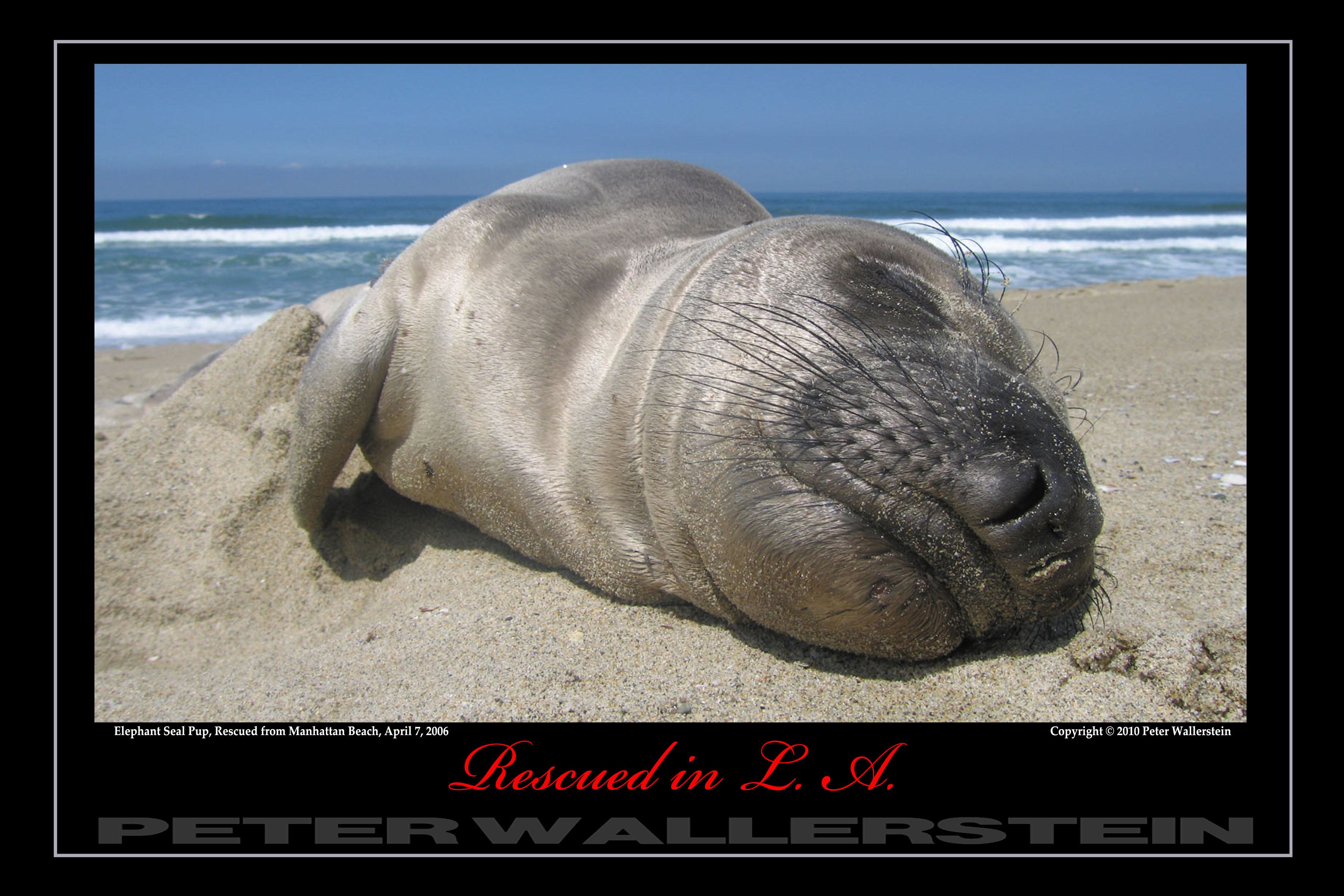 Elephant Seal Pup Sunning
