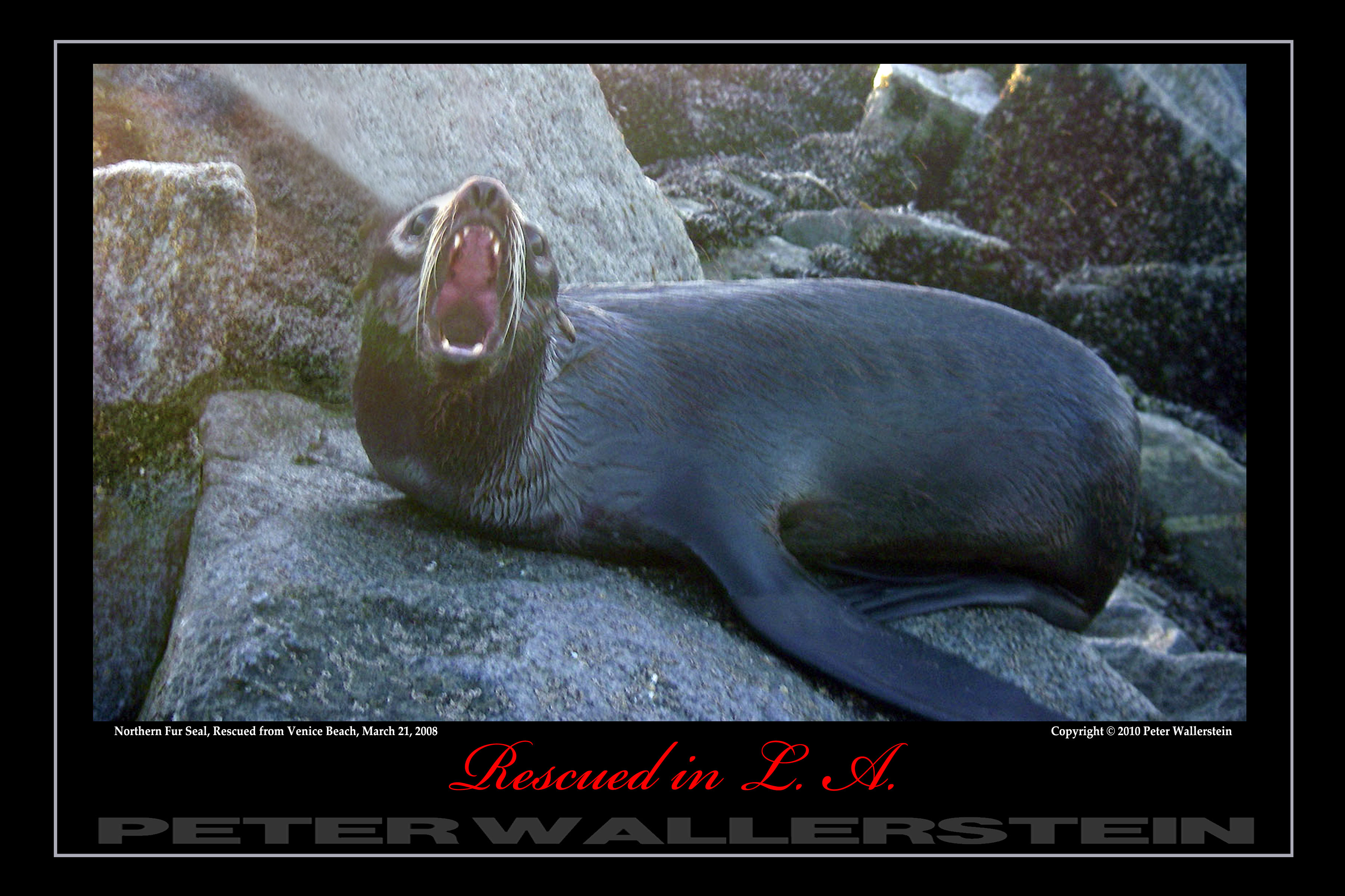 Northern Fur Seal Open Wide