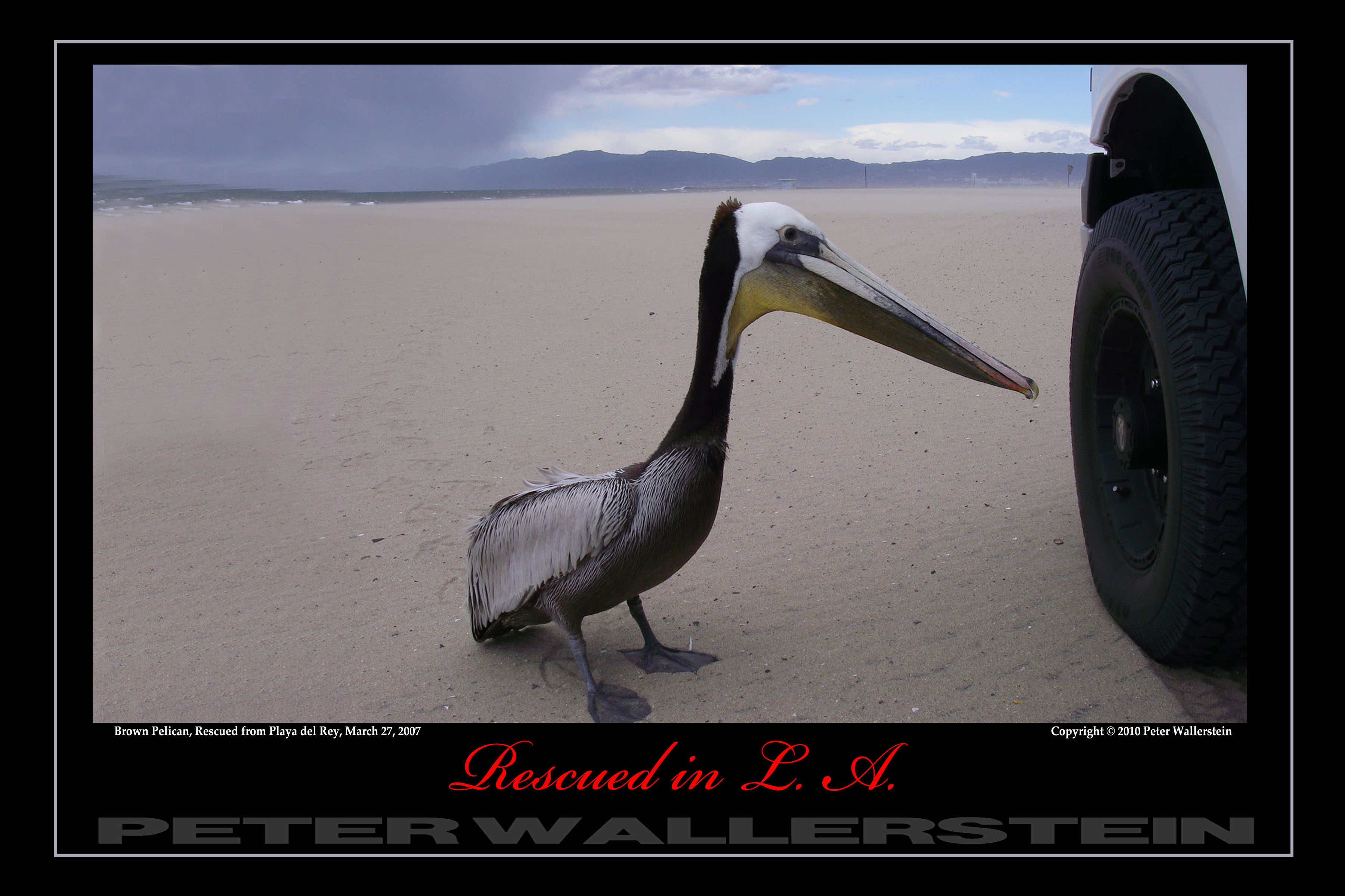 Pelican and Tire