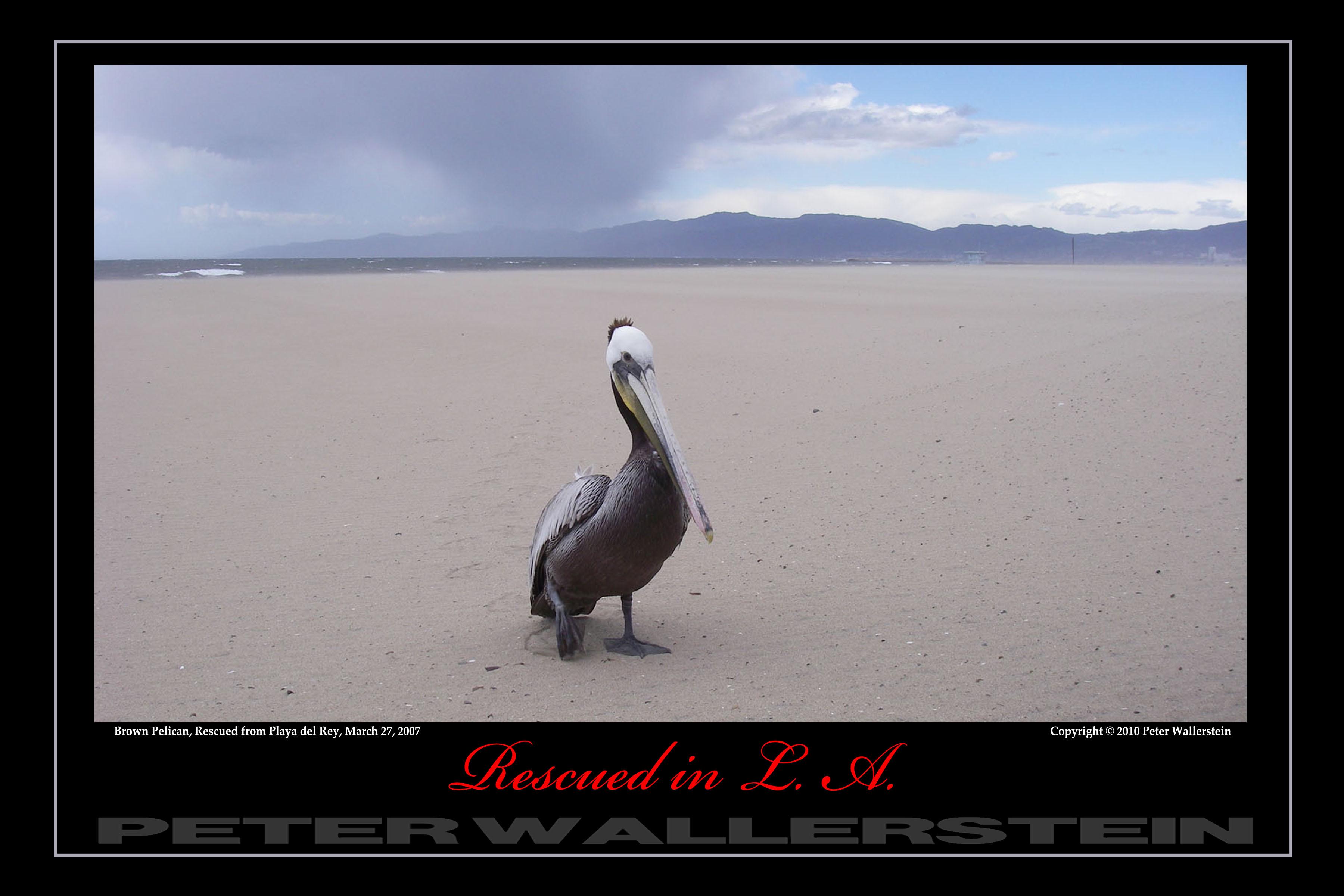 Pelican in Storm