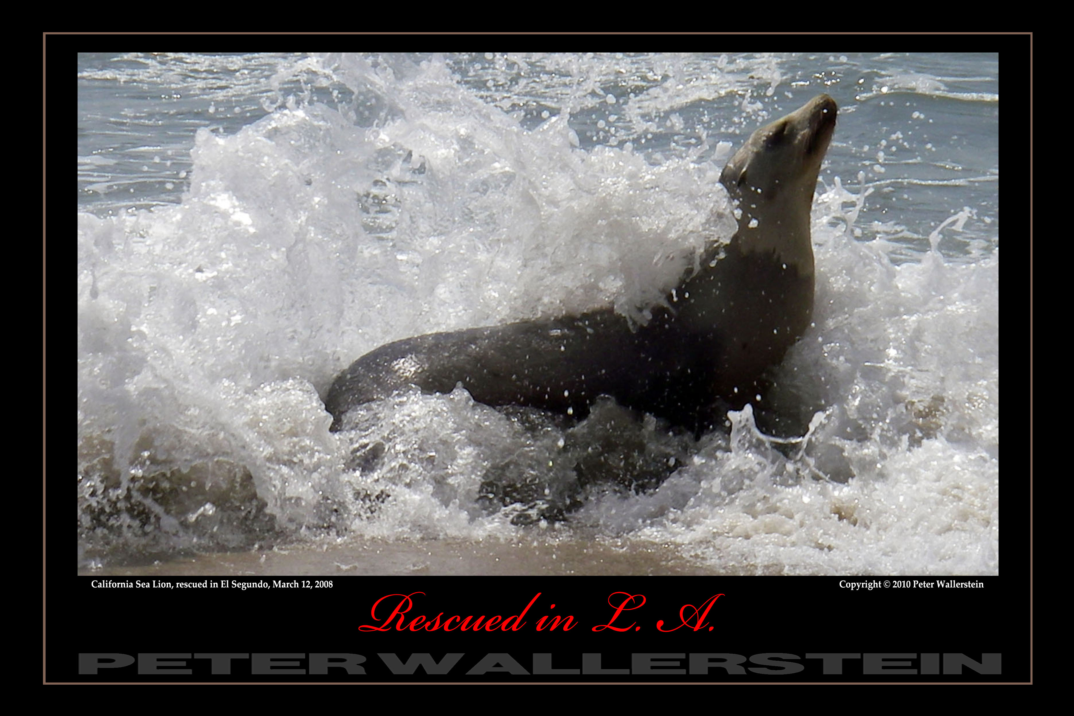 Sea Lion in Surf